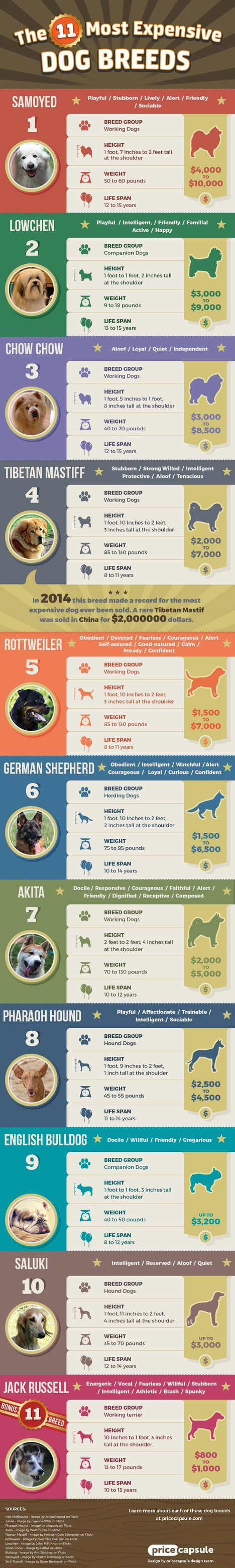 11 Most Expensive Dog Breeds